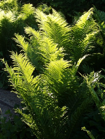 Scenery/ferns2.jpg